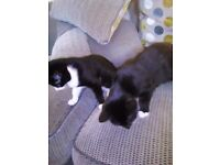 Kittens for ever home,