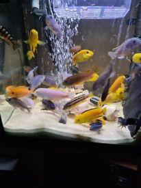 Adult mbuna cichlids fish