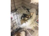 Jack Russel x chihuahua puppies for sale
