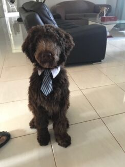Dog grooming services for $20 only