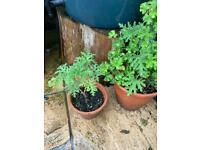 Plants scented leaves lemon and rose 2 geraniums, pelargoniums, in terracotta pots