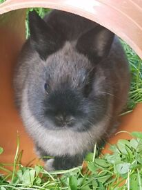 netherland dwarf babies 3 smoke boys available