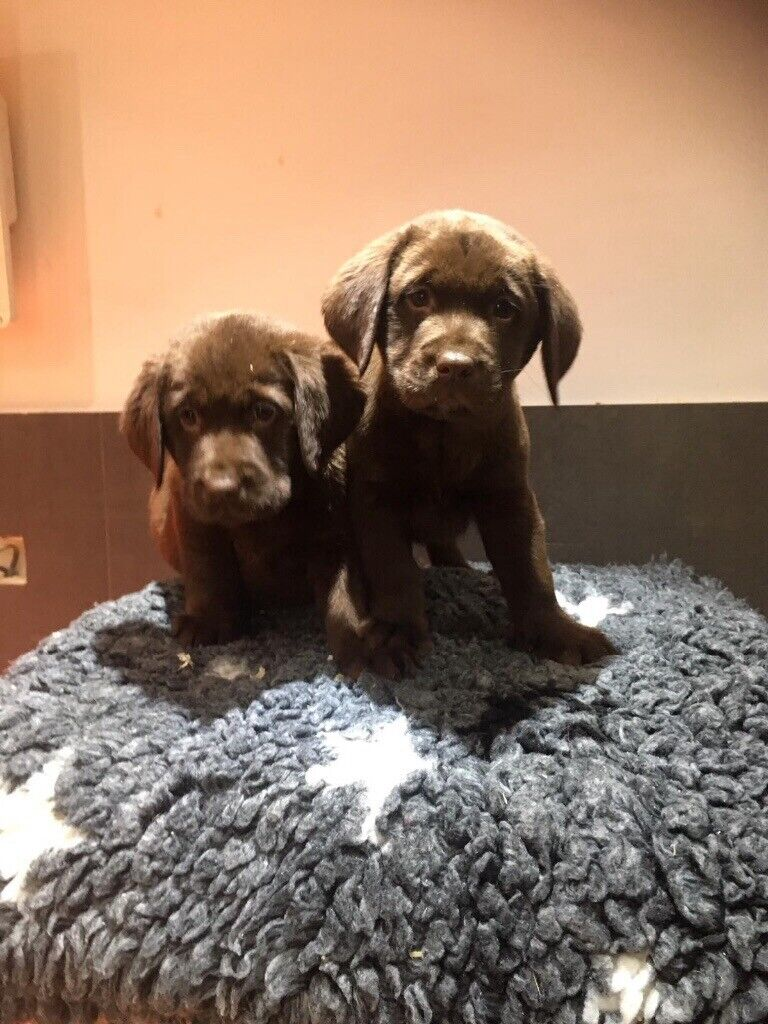 Chocolate And Golden Labs In Grays Essex Gumtree