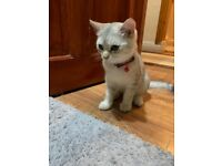 Silver Male British Shorthair