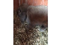Brown mini lop doe £15