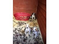 3 Beagle Puppies **FOR SALE**