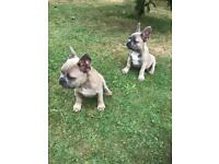 Kc reg French bull dog puppy's 2 boys two girls 14wks old. £995 each
