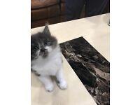 Persian female kitten