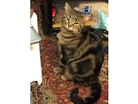 Missing 3 years old tabby cat