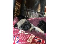 1 beautiful fawn female pug puppy