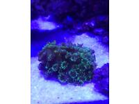 Goniopura coral - Marine Tank only
