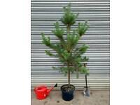 Scots Pine Tree. YO41 5NT