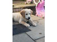 Beautiful Kc Registered Golden Retriever puppy