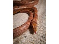 GHOST Corn Snake with Full Set Up