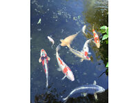 Mature Japanese Koi Carp & assortment of other pond fish and equipment for sale. Offers welcome.