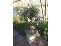 Twisted stem OLIVE TREE in glazed ceramic pot