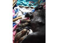 KC registered pug puppy's