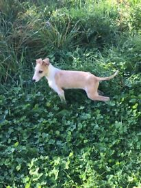 Lurcher boy puppy
