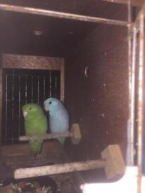 Pair of celestial parrotlets