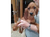 4 beautiful redsetter puppies for sale