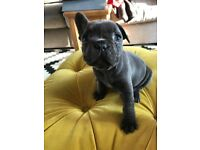 French bull Dog puppies for sale (Blue)