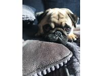 10 month old male Pug for sale