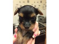 Tiny Yorkshire terrier puppy for sale