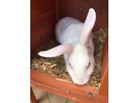 Female rabbit SOLD