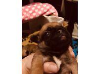 Kc registered pugs pups
