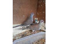 Diamond Doves for sale, Otford