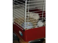 2 Guinea. Pigs for sale 10 week old