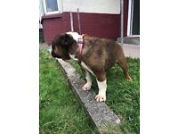 Kc reg British bulldog girl 4 sale