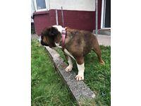 Kc reg British bulldog girl 4 sale