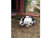 Male rabbit and hutch