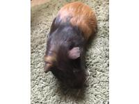 Ginger and brown male guinea pig