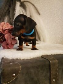 Gorgeous mini dachshund babies