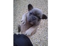 Stunning frenchbull dogs ready now