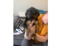 Yorkshire terrier puppies pup puppy ready now