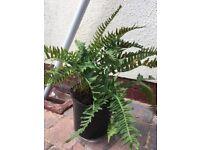 Dwarf fern outdoor plant,fully hardy