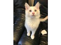 Ragdoll Liliac GCCF registered Kitten Boy