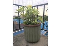 2 outdoor plant pots mint with plant