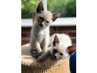 Stunning Blue Eyed Snowshoe Kittens.