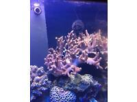Large finger coral marine/fish tank
