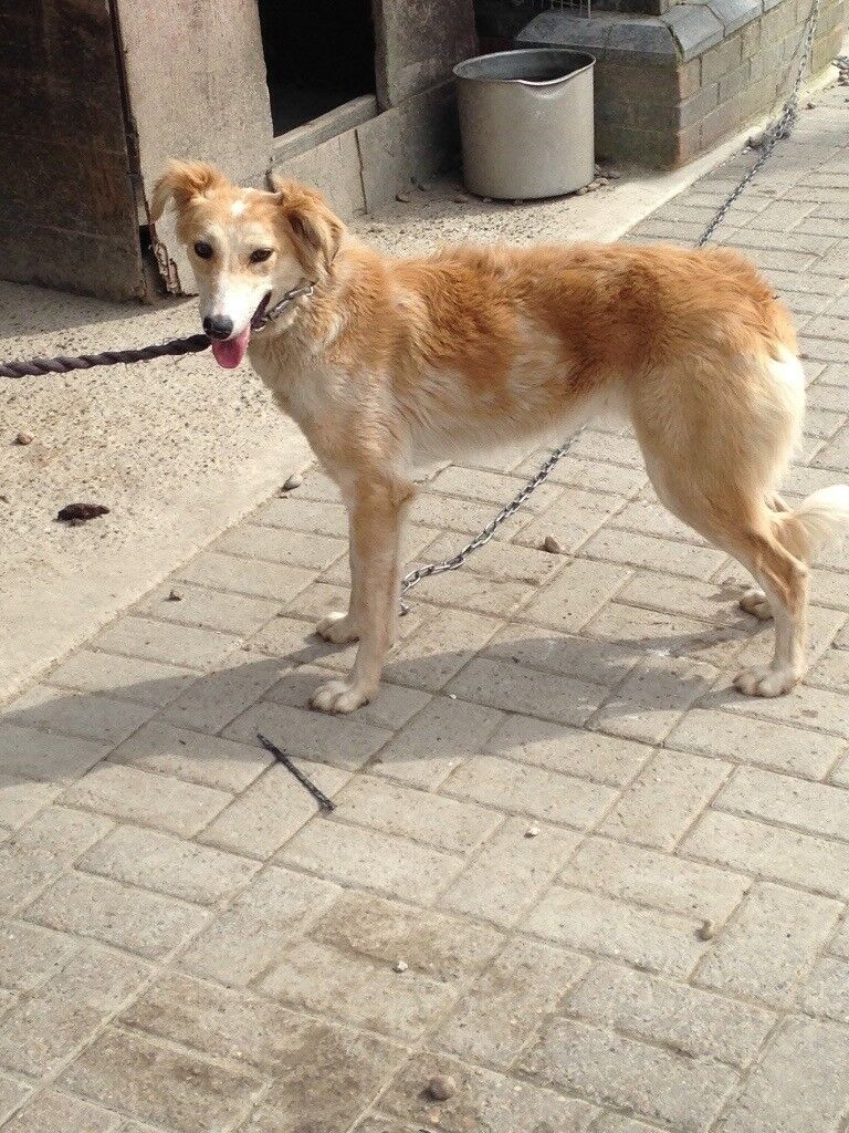 8 month old collie whippet puppy   in Ashford, Kent   Gumtree