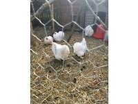 White Peking fertile chicken eggs