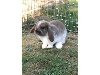 Pure bred Baby mini lop rabbits