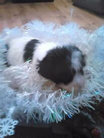 super tiny matltipoo pups partie coloured ready 22nd dec