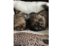 Mini shih tzu pups ready now 3 girls 1 boy
