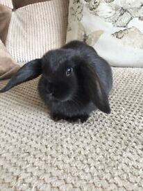 Mini lop cross rabbits (cage can be included)