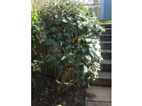 Mature Garden Shrubs - pyracantha, oleaster and viburnum
